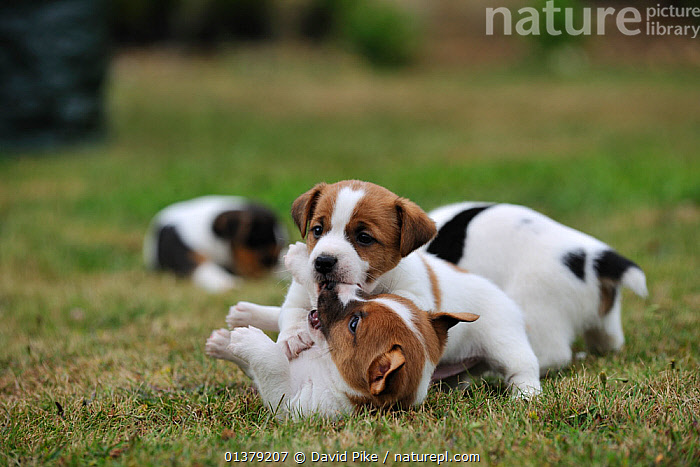 Two Jack russell terrier puppies playing, two others in the background  ,  BEHAVIOUR,FIGHTING,PETS,VERTEBRATES,WHITE,BABIES,BROWN,CANIDAE,DOG,DOGS,GROUPS,MEDIUM DOGS,OUTDOORS,PLAY,PUPPIES,TERRIERS,Aggression,Communication,Canids  ,  David Pike