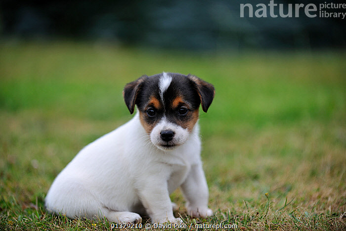 Jack russell terrier puppy sitting  ,  BABIES,CANIDAE,DOG,DOGS,MEDIUM DOGS,OUTDOORS,PORTRAITS,PUPPIES,SITTING,TERRIERS,CUTE,PETS,VERTEBRATES,Canids  ,  David Pike