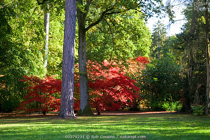 Trees showing first autumn colour, Old Arboretum, Westonbirt Arboretum, Gloucestershire, UK, October 2011  ,  Acer,LANDSCAPES,LEAVES,parkland,RESERVE,TRUNKS,UK,AUTUMN,EUROPE,Maple,RED,TREES,PLANTS,United Kingdom  ,  Rob Cousins