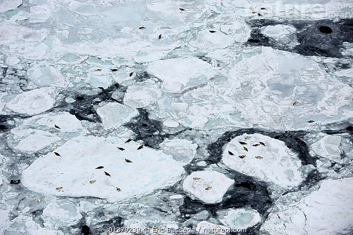 Aerial view of Harp seals (Phoca groenlandicus) hauled out on sea ice, Magdalen Islands, Gulf of St Lawrence, Quebec, Canada, March 2012  ,  ABSTRACT,AERIALS,ATLANTIC,CANADA,CARNIVORES,COASTAL WATERS,FROZEN,GROUPS,HABITAT,ICE,LANDSCAPES,MAMMALS,MARINE,PAGOPHILUS GROENLANDICUS,PHOCIDAE,PINNIPEDS,SEA,SEALS,VERTEBRATES,North America  ,  Eric Baccega