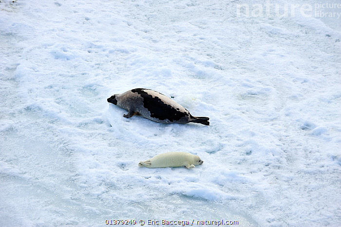 Aerial view of Harp seal (Phoca groenlandicus) female and pup hauled out on sea ice, Magdalen Islands, Gulf of St Lawrence, Quebec, Canada, March 2012  ,  AERIALS,ATLANTIC,CANADA,CARNIVORES,COASTAL WATERS,COPYSPACE,FROZEN,HABITAT,ICE,MAMMALS,MARINE,MOTHER BABY,PAGOPHILUS GROENLANDICUS,PHOCIDAE,PINNIPEDS,SEA,SEALS,TWO,VERTEBRATES,WHITE,North America  ,  Eric Baccega
