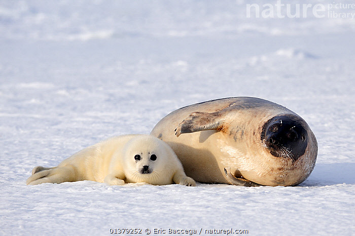 Harp seal (Phoca groenlandicus) female with pup, Magdalen Islands, Gulf of St Lawrence, Quebec, Canada, March 2012  ,  ATLANTIC,CANADA,CARNIVORES,COASTAL WATERS,FROZEN,HABITAT,ICE,LOOKING AT CAMERA,MAMMALS,MARINE,MOTHER BABY,PAGOPHILUS GROENLANDICUS,PARENTAL,PHOCIDAE,PINNIPEDS,SEA,SEALS,TWO,VERTEBRATES,North America  ,  Eric Baccega