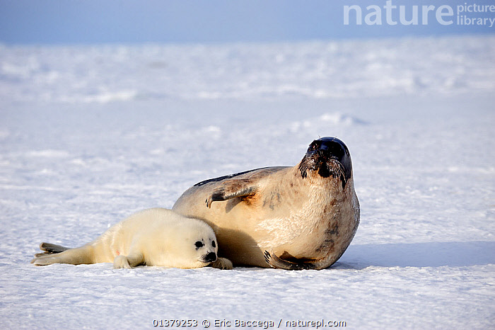 Female Harp seal (Phoca groenlandicus) with pup, Magdalen Islands, Gulf of St Lawrence, Quebec, Canada, March 2012  ,  ATLANTIC,CANADA,CARNIVORES,COASTAL WATERS,FROZEN,HABITAT,ICE,LOOKING AT CAMERA,MAMMALS,MARINE,MOTHER BABY,PAGOPHILUS GROENLANDICUS,PARENTAL,PHOCIDAE,PINNIPEDS,SEA,SEALS,TWO,VERTEBRATES,WHITE,North America  ,  Eric Baccega
