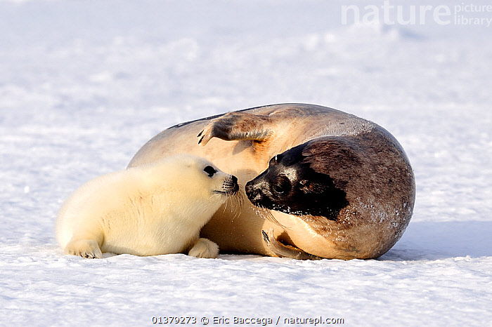 Female Harp seal (Phoca groenlandicus) touching noses with her pup, Magdalen Islands, Gulf of St Lawrence, Quebec, Canada, March 2012, ATLANTIC,BEHAVIOUR,CANADA,CARNIVORES,COASTAL WATERS,CUTE,ICE,INTERACTION,MAMMALS,MARINE,MOTHER BABY,PAGOPHILUS GROENLANDICUS,PARENTAL,PHOCIDAE,PINNIPEDS,SEALS,TOUCHING,VERTEBRATES,WHITE,North America, Eric Baccega