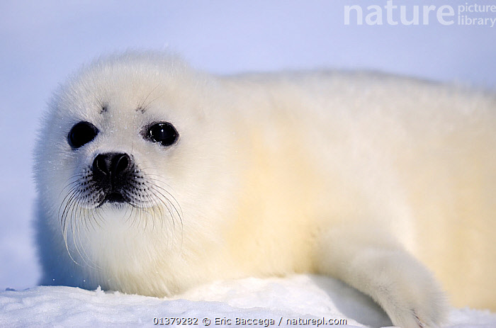 Portrait of Harp seal (Phoca groenlandicus) pup, Magdalen Islands, Gulf of St Lawrence, Quebec, Canada, March 2012  ,  ATLANTIC,BABIES,CANADA,CARNIVORES,CLOSE UPS,COASTAL WATERS,CUTE,FLUFFY,ICE,MAMMALS,MARINE,PAGOPHILUS GROENLANDICUS,PHOCIDAE,PINNIPEDS,PORTRAITS,SEA,SEALS,VERTEBRATES,WHITE,North America  ,  Eric Baccega
