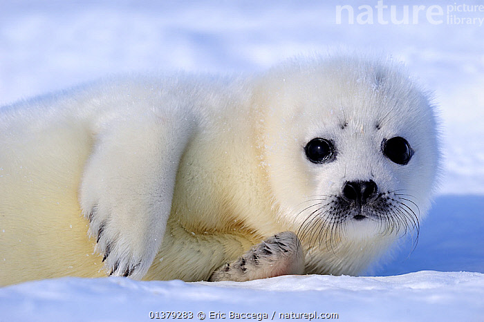 Portrait of Harp seal (Phoca groenlandicus) pup, Magdalen Islands, Gulf of St Lawrence, Quebec, Canada, March 2012  ,  ATLANTIC,BABIES,CANADA,CARNIVORES,CLOSE UPS,COASTAL WATERS,CUTE,FACES,FLUFFY,ICE,MAMMALS,MARINE,PAGOPHILUS GROENLANDICUS,PHOCIDAE,PINNIPEDS,PORTRAITS,SEA,SEALS,VERTEBRATES,WHITE,North America  ,  Eric Baccega