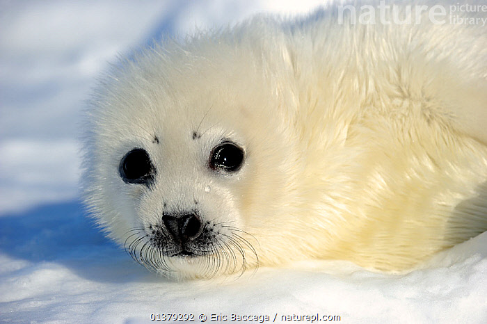 Portrait of Harp seal (Phoca groenlandicus) pup, Magdalen Islands, Gulf of St Lawrence, Quebec, Canada, March 2012  ,  ATLANTIC,BABIES,CANADA,CARNIVORES,CLOSE UPS,COASTAL WATERS,CUTE,FLUFFY,ICE,LOOKING AT CAMERA,MAMMALS,MARINE,PAGOPHILUS GROENLANDICUS,PHOCIDAE,PINNIPEDS,PORTRAITS,SEA,SEALS,VERTEBRATES,WHITE,North America  ,  Eric Baccega