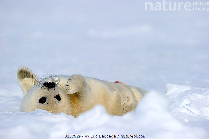 Harp seal (Phoca groenlandicus) pup rolling on back on sea ice, Magdalen Islands, Gulf of St Lawrence, Quebec, Canada, March 2012  ,  ATLANTIC,BABIES,CANADA,CARNIVORES,COASTAL WATERS,COPYSPACE,CUTE,FLUFFY,ICE,MAMMALS,MARINE,PAGOPHILUS GROENLANDICUS,PHOCIDAE,PINNIPEDS,PORTRAITS,SEA,SEALS,VERTEBRATES,WHITE,North America  ,  Eric Baccega