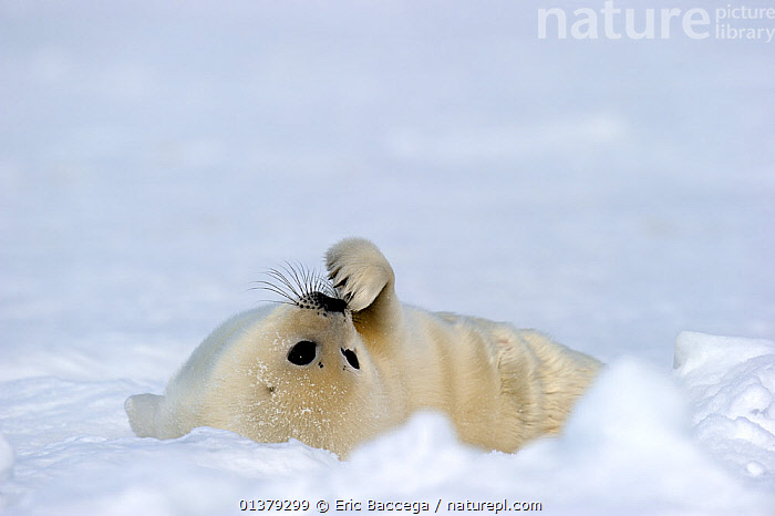 Harp seal (Phoca groenlandicus) pup rolling on back on sea ice, Magdalen Islands, Gulf of St Lawrence, Quebec, Canada, March 2012  ,  ATLANTIC,BABIES,CANADA,CARNIVORES,CLOSE UPS,COASTAL WATERS,CUTE,FLUFFY,ICE,MAMMALS,MARINE,PAGOPHILUS GROENLANDICUS,PHOCIDAE,PINNIPEDS,PORTRAITS,SEA,SEALS,THINKING,VERTEBRATES,WHITE,North America  ,  Eric Baccega