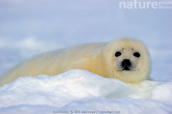 Portrait of Harp seal (Phoca groenlandicus) pup on sea ice, Magdalen Islands, Gulf of St Lawrence, Quebec, Canada, March 2012  ,  ATLANTIC,BABIES,CANADA,CARNIVORES,COASTAL WATERS,CUTE,FLUFFY,ICE,LOOKING AT CAMERA,MAMMALS,MARINE,PAGOPHILUS GROENLANDICUS,PHOCIDAE,PINNIPEDS,PORTRAITS,SEA,SEALS,VERTEBRATES,WHITE,North America  ,  Eric Baccega