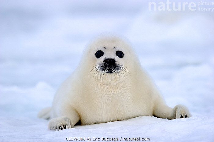 Portrait of Harp seal (Phoca groenlandicus) pup on sea ice, Magdalen Islands, Gulf of St Lawrence, Quebec, Canada, March 2012, animal portrait,ATLANTIC,BABIES,CANADA,CARNIVORES,catalogue4,close up,CLOSE UPS,COASTAL WATERS,COLD,CUTE,EXPRESSIONS,facial expression,FLUFFY,front view,Gulf of St Lawrence,ICE,looking at camera,Magdalen Islands,MAMMALS,MARINE,Nobody,one animal,PAGOPHILUS GROENLANDICUS,Phocidae,PINNIPEDS,PORTRAITS,Quebec,sadness,sea,sea ice,seal pup,SEALS,VERTEBRATES,WHITE,white colour,WILDLIFE,young animal,North America, Eric Baccega