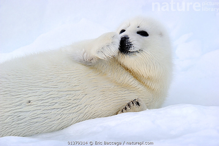 Portrait of Harp seal (Phoca groenlandicus) pup on sea ice, with raised flipper Magdalen Islands, Gulf of St Lawrence, Quebec, Canada, March 2012  ,  ATLANTIC,BABIES,CANADA,CARNIVORES,COASTAL WATERS,CUTE,FLUFFY,ICE,MAMMALS,MARINE,PAGOPHILUS GROENLANDICUS,PHOCIDAE,PINNIPEDS,PORTRAITS,SEA,SEALS,VERTEBRATES,WHITE,North America  ,  Eric Baccega