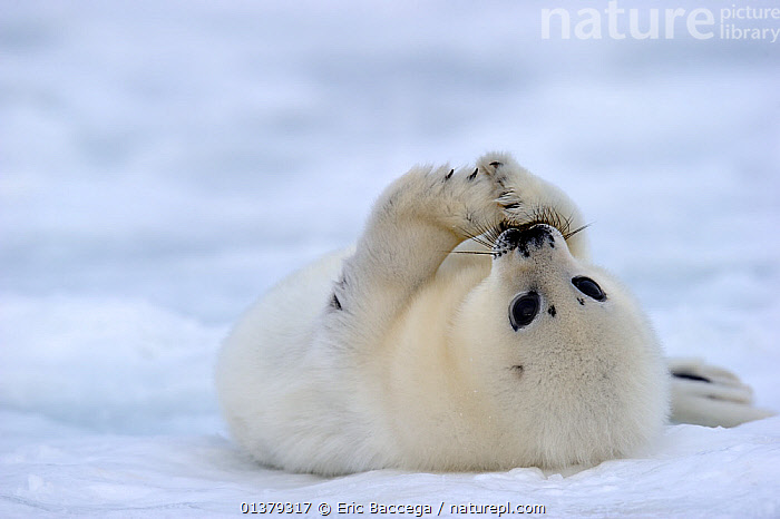 Portrait of Harp seal (Phoca groenlandicus) pup rolled on back on sea ice, Magdalen Islands, Gulf of St Lawrence, Quebec, Canada, March 2012  ,  ATLANTIC,BABIES,CANADA,CARNIVORES,CLOSE UPS,COASTAL WATERS,CUTE,FLUFFY,ICE,MAMMALS,MARINE,PAGOPHILUS GROENLANDICUS,PHOCIDAE,PINNIPEDS,PORTRAITS,SEA,SEALS,VERTEBRATES,WHITE,North America  ,  Eric Baccega