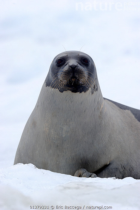 Female Harp seal (Phoca groenlandicus) on sea ice, Magdalen Islands, Gulf of St Lawrence, Quebec, Canada, March 2012  ,  ATLANTIC,CANADA,CARNIVORES,COASTAL WATERS,ICE,LOOKING AT CAMERA,MAMMALS,MARINE,PAGOPHILUS GROENLANDICUS,PHOCIDAE,PINNIPEDS,PORTRAITS,SEA,SEALS,VERTEBRATES,VERTICAL,North America  ,  Eric Baccega