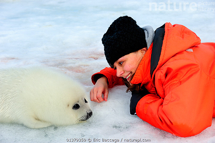 Tourist watching Harp seal (Phoca groenlandicus) pup on sea ice, Magdalen Islands, Gulf of St Lawrence, Quebec, Canada, March 2012  ,  ATLANTIC,CANADA,CARNIVORES,CAUCASIAN,COASTAL WATERS,ICE,MAMMALS,MARINE,ONE ANIMAL,ONE PERSON,ORANGE,PAGOPHILUS GROENLANDICUS,PEOPLE,PHOCIDAE,PINNIPEDS,SEA,SEALS,SMILING,TOUCHING,TOURISM,VERTEBRATES,WATCHING,WHITE,WOMAN,North America  ,  Eric Baccega