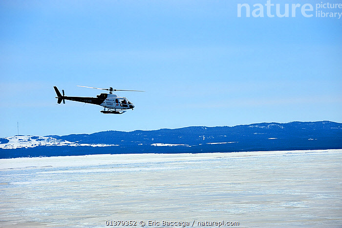 Helicopter bringing tourists to see Harp seals (Phoca groenlandicus) on sea ice, Magdalen Islands, Gulf of St Lawrence, Quebec, Canada, March 2012  ,  AIRCRAFT,ATLANTIC,CANADA,COASTAL WATERS,COPYSPACE,FLYING,HELICOPTERS,ICE,NORTH AMERICA,SEA,TOURISM,TRANSPORT,Marine  ,  Eric Baccega