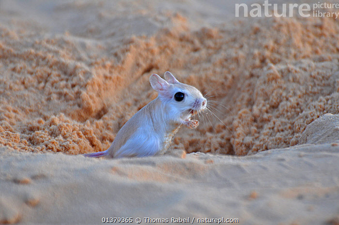 Lesser Egyptian Gerboa (Jaculus jaculus) in the entrance to its burrow. Sahelo-Sudanese Biome, Niger.  ,  AFRICA,ARID,CUTE,DESERTS,DIPODIDAE,JERBOAS,MAMMALS,NORTH AFRICA,PORTRAITS,RODENTS,SAHARA,SAND,SMALL,VERTEBRATES  ,  Thomas Rabeil