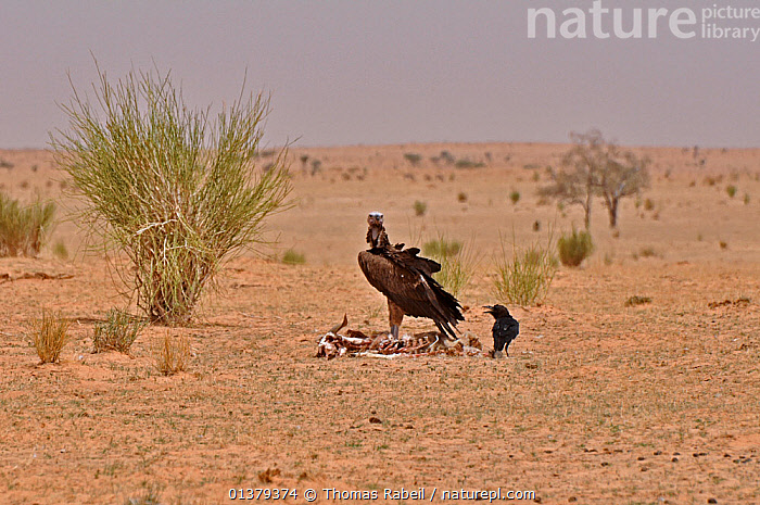 Lappet Faced Vulture (Torgos tracheliotos) and Brown-necked Raven (Corvus ruficolis) at a animal skeleton. Dilia Achetinamou, Termit Tin Toumma National Park, Sahelo-Saharan Biome, Niger.  ,  AFRICA,ARID,BIRDS,DEATH,DESERTS,LANDSCAPES,LOOKING AT CAMERA,MIXED SPECIES,NORTH AFRICA,NP,RESERVE,SAHARA,SCAVENGING,SPACE,TWO,VERTEBRATES,VULTURES,National Park  ,  Thomas Rabeil