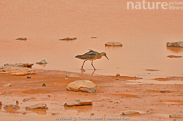 Ruff (Philomachus pugnax) foraging at seasonal water hole. Termit Massif, Termit Tin Toumma National Park, Sahelo-Saharan Biome, Niger.  ,  AFRICA,ARID,BIRDS,DESERTS,FORAGING,MIGRATION,NORTH AFRICA,NP,RESERVE,SAHARA,SANDPIPERS,SCOLOPACIDAE,VERTEBRATES,WADERS,WATER,National Park  ,  Thomas Rabeil