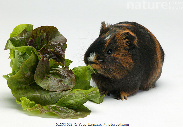Guinea pig (Cavia porcellus) shorthaired tortoiseshell eating lettuce. Captive.  ,  BEHAVIOUR,CAVIES,FEEDING,ORANGE,PETS,RODENTS,VERTEBRATES,WHITE,BLACK,BROWN,CUTOUT,FLUFFY,MAMMALS,PORTRAITS,STUDIO,VEGETABLES  ,  Yves Lanceau