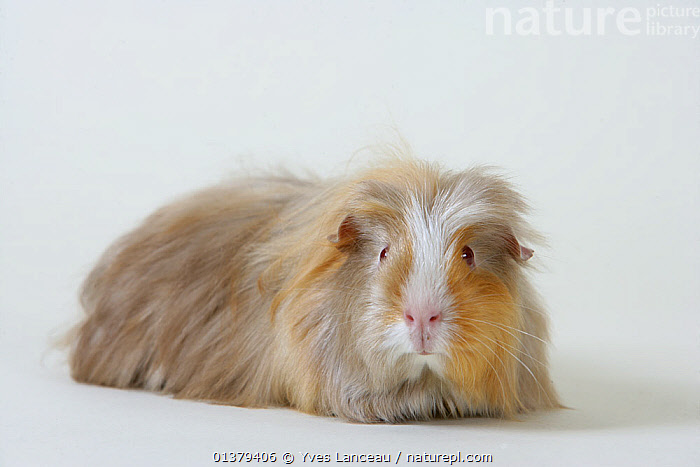 Guinea pig (Cavia porcellus) longhaired beige and white. Captive.  ,  CAVIES,PETS,PROFILE,RODENTS,VERTEBRATES,WHITE,BROWN,CLOSE UPS,CUTOUT,FLUFFY,LOOKING AT CAMERA,MAMMALS,PORTRAITS,STUDIO  ,  Yves Lanceau