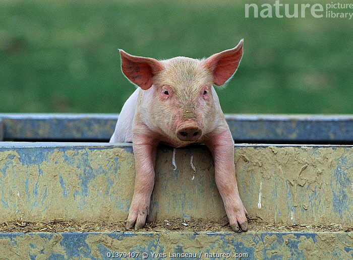 Domestic pig (Sus scrofa domestica) crossbreed piglet portrait, France.  ,  JUVENILE,LIVESTOCK,VERTEBRATES,YOUNG,ARTIODACTYLA,BABIES,CROSSBREED,EUROPE,FRANCE,LOOKING AT CAMERA,MAMMALS,PIGS,PINK,PORTRAITS,SUIDS  ,  Yves Lanceau