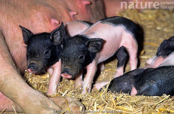 Domestic pig (Sus scrofa domestica) Limousin sow lying down with piglets, France.  ,  ARTIODACTYLA,BABIES,BLACK,EUROPE,FAMILIES,FRANCE,GROUPS,MAMMALS,PIGS,PINK,PORTRAITS,SUIDS,FEMALES,JUVENILE,LIVESTOCK,MOTHER BABY,VERTEBRATES,YOUNG  ,  Yves Lanceau