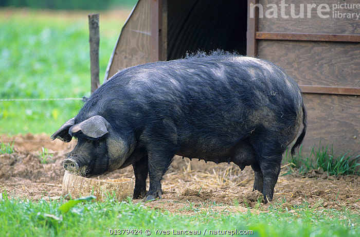 Domestic pig (Sus scrofa domestica) Gascon sow, standing beside pig sty, France.  ,  FEMALES,LIVESTOCK,PROFILE,STANDING,VERTEBRATES,ARTIODACTYLA,BLACK,EUROPE,FRANCE,MAMMALS,PIGS,PORTRAITS,SUIDS  ,  Yves Lanceau