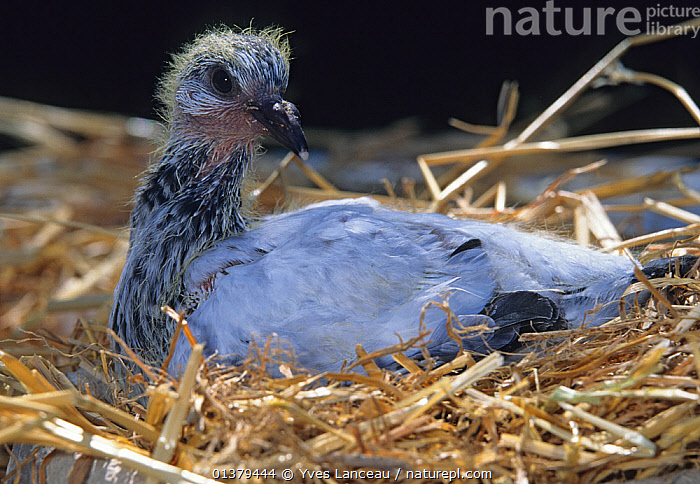Young domestic Pigeon, 20 days.  ,  BREEDS,CHICKS,DOMESTIC,FANCY,PIGEON,PIGEONS,PROFILE,SQUABS,VERTEBRATES,YOUNG,BIRDS,BREED,COLUMBA LIVIA,COLUMBIFORMES,DOVES,PORTRAITS  ,  Yves Lanceau