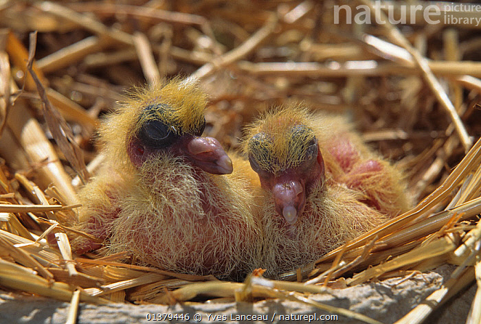 Domestic Pigeon, chick / squab, 2 days.  ,  BREEDS,CHICKS,DOMESTIC,FANCY,PIGEON,PIGEONS,SMALL,VERTEBRATES,YOUNG,BIRDS,BREED,COLUMBA LIVIA,COLUMBIFORMES,DOVES,PORTRAITS,TWO  ,  Yves Lanceau
