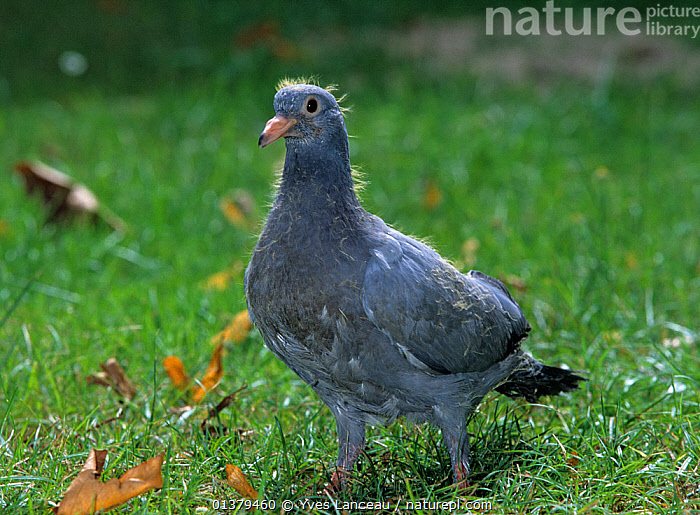 Domestic Pigeon (Montauban) young pigeon, at 21 days.  ,  BREEDS,DOMESTIC,FANCY,JUVENILE,PIGEON,PIGEONS,VERTEBRATES,YOUNG,BIRDS,BREED,COLUMBA LIVIA,COLUMBIFORMES,DOVES,PORTRAITS  ,  Yves Lanceau