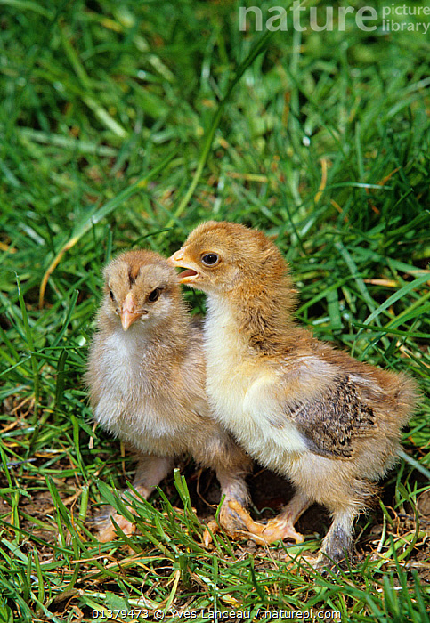 Brahma Hen, partridge colour, two chicks, 11 days, France  ,  CHICKS,CUTE,GALLUS DOMESTICUS,BABIES,BIRDS,CHICKEN,DOMESTIC HEN,EUROPE,FLUFFY,FRANCE,HENS,POULTRY,TWO,VERTICAL  ,  Yves Lanceau
