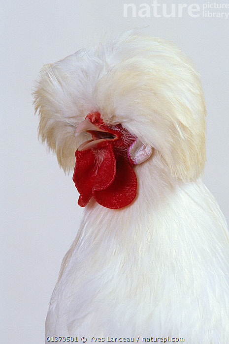 Padoue White Padovana Hen, cock crowing, studio portrait  ,  bantam,BEHAVIOUR,BIRDS,blind,CALLING,catalogue5,chicken,CLOSE UPS,cock,COMMUNICATION,crowing,CUTOUT,domestic hen,EUROPE,FRANCE,gallus domesticus,hens,HUMOROUS,MALES,Nobody,obscured face,one animal,plumage,PORTRAITS,POULTRY,studio shot,VERTICAL,VOCALISATION,WEIRD,WHITE,white colour,Concepts  ,  Yves Lanceau