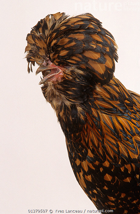 Padovana Hen, studio portrait  ,  FEATHERS,GALLUS DOMESTICUS,WEIRD,BIRDS,BLIND,CHICKEN,CUTOUT,DOMESTIC HEN,EUROPE,FRANCE,HENS,HUMOROUS,PORTRAITS,POULTRY,VERTICAL,Concepts  ,  Yves Lanceau
