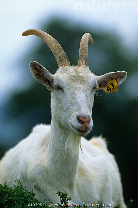 Domestic goat (Capra hircus) female head portrait, France.  ,  FEMALES,GOATS,HEADS,HORNS,LIVESTOCK,SMILEY,STANDING,VERTEBRATES,WHITE,ARTIODACTYLA,BOVIDS,EUROPE,EXPRESSIONS,FRANCE,HAPPY,LOOKING AT CAMERA,MAMMALS,PORTRAITS,VERTICAL  ,  Yves Lanceau