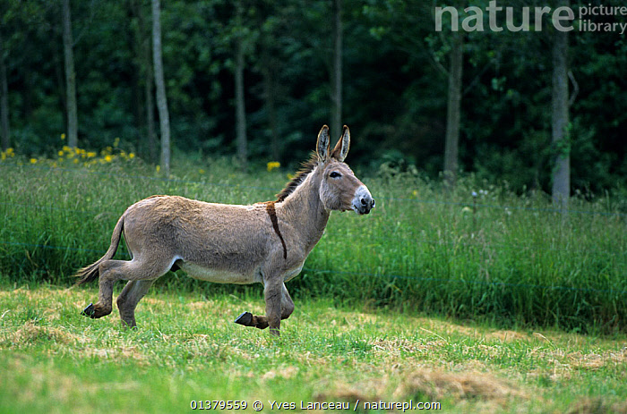Domestic donkey (Equus asinus) Donkey of Cotentin, male, running in a field, France.  ,  ALONE,BROWN,EUROPE,FRANCE,MAMMALS,MOVEMENT,PERISSODACTYLA,PORTRAITS,RUNNING,ASSES,BEHAVIOUR,MALES,PROFILE,VERTEBRATES,WHITE  ,  Yves Lanceau