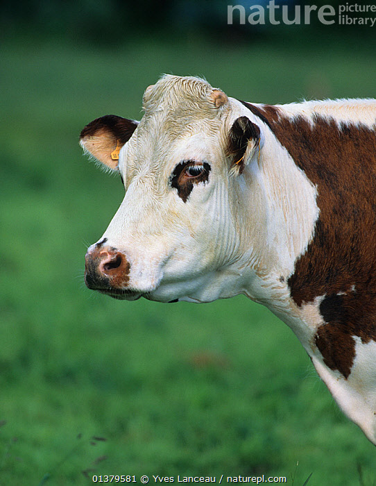 Domestic cattle (Bos taurus) Normande cow, France  ,  BOVIDAE,BROWN AND WHITE,CATTLE,COWS,EUROPE,FRANCE,MAMMALS,PORTRAITS,VERTICAL,LIVESTOCK,VERTEBRATES  ,  Yves Lanceau