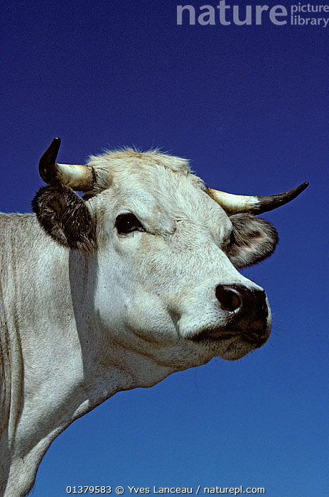 Domestic cattle (Bos taurus) Gascon cow, France  ,  LIVESTOCK,VERTEBRATES,WHITE,BOVIDAE,CATTLE,COWS,EUROPE,FRANCE,LOW ANGLE SHOT,MAMMALS,PORTRAITS,VERTICAL  ,  Yves Lanceau