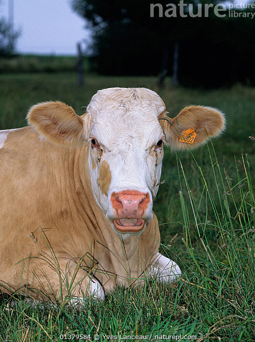 Domestic cattle (Bos taurus) French Simmental cow, France  ,  LIVESTOCK,RESTING,VERTEBRATES,ARTIODACTYLA,BOVIDS,CATTLE,COW,COWS,MAMMALS,PORTRAITS,VERTICAL,Europe  ,  Yves Lanceau