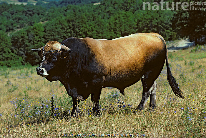 Domestic cattle (Bos taurus) Aubrac cow, bull wearing chain nose harness, France  ,  BLACK AND TAN,LIVESTOCK,MALES,MOUNTAINS,VERTEBRATES,BOVIDAE,CATTLE,COWS,EUROPE,FRANCE,MAMMALS  ,  Yves Lanceau