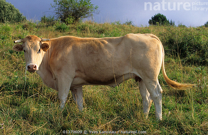 Domestic cattle (Bos taurus) Blonde d'Aquitaine cow, France  ,  LIVESTOCK,PROFILE,VERTEBRATES,WHITE,BOVIDAE,CATTLE,COWS,EUROPE,FRANCE,MAMMALS  ,  Yves Lanceau