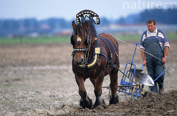 Horse, draughthorse, male carthorse ploughing a field, France  ,  AGRICULTURE,CARTHORSE,EQUUS,MALES,PEOPLE,PLOUGH,TRACTION,VERTEBRATES,CABALLUS,EUROPE,FRANCE,HORSES,MAMMALS,MAN,PERISSODACTYLA,TRADITIONAL,WORKING  ,  Yves Lanceau