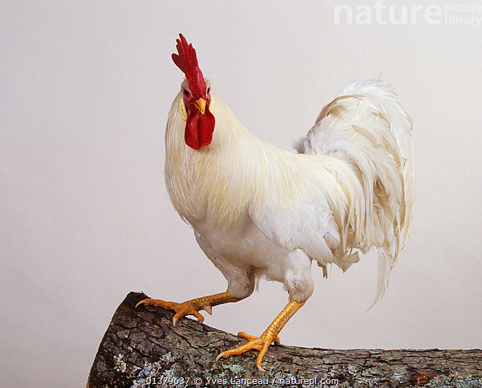 White Leghorn Hen, cock, studio portrait  ,  BIRDS,CHICKEN,CUTOUT,DOMESTIC HEN,EUROPE,FRANCE,HENS,PORTRAITS,POULTRY,GALLUS DOMESTICUS,MALES,WHITE  ,  Yves Lanceau