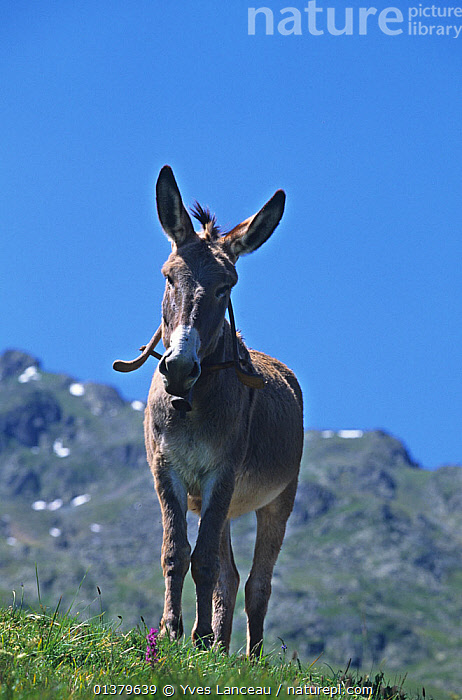 Domestic donkey (Equus asinus) Provence Donkey, ass, male, standing with mountains in background France.  ,  ASSES,JUVENILE,MALES,MOUNTAINS,PROFILE,STANDING,VERTEBRATES,WHITE,YOUNG,BROWN,EUROPE,FRANCE,LOOKING AT CAMERA,MAMMALS,PERISSODACTYLA,PORTRAITS,TWO,VERTICAL  ,  Yves Lanceau