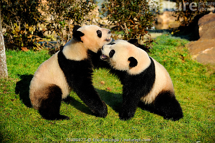 Giant panda (Ailuropoda melanoleuca) pair play fighting, captive, Zoo Parc de Beauval, France, Endangered, AILUROPODA MELANOLEUCA,,,, Eric Baccega