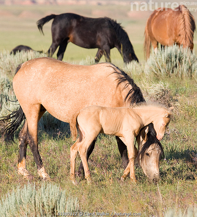 Mustang / wild horses, cremello colt foal Cremesso with grazing mare, McCullough Peak herd, Wyoming, USA, June 2007  ,  FEEDING,FOALS,MALES,MUSTANGS,VERTEBRATES,WHITE,ADOPTION,FAMILIES,HORSE,HORSES,MAMMALS,PERISSODACTYLA,USA,WILD HORSES,North America  ,  Carol Walker