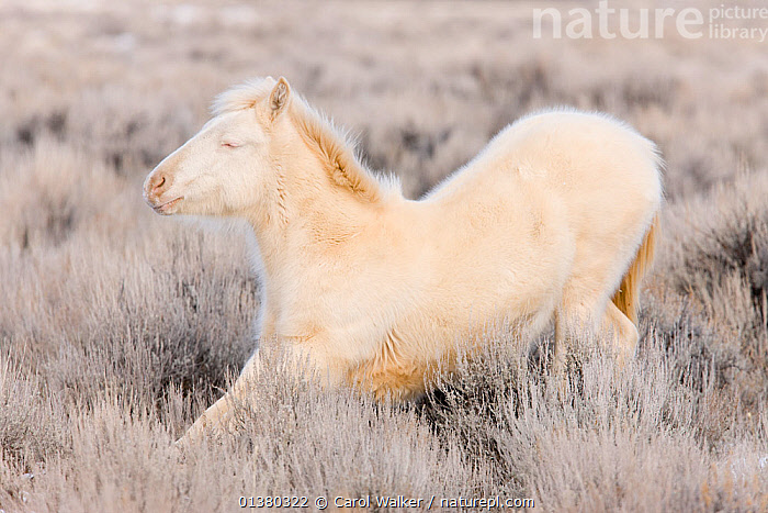 Mustang / wild horse, yearling cremello colt Claro in thick winter coat, stretching, McCullough Peak herd, Wyoming, USA, February 2008  ,  adoption,animals in the wild,BEHAVIOUR,catalogue4,COLD,colt,ENJOYMENT,eyes closed,foal,FROST,Horse,HORSES,JUVENILE,male animal,MALES,MAMMALS,McCullough Peak,mustangs,Nobody,one animal,PERISSODACTYLA,side view,STRETCHING,USA,VERTEBRATES,WHITE,white colour,wild horse,wild horses,wyoming,young animal,Weather,North America  ,  Carol Walker