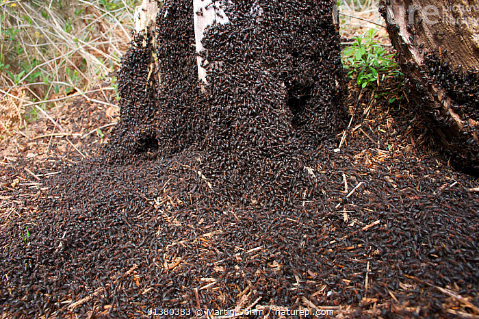 Wood ant (Formica rufa) basking to absorb heat from the sun which is brought back to the nest when they return, Europe  ,  ANTS,ARTHROPODS,BEHAVIOUR,EUROPE,HYMENOPTERA,INSECTS,INVERTEBRATES,SOCIAL BEHAVIOUR,THERMOREGULATION,Catalogue5  ,  Martin Dohrn
