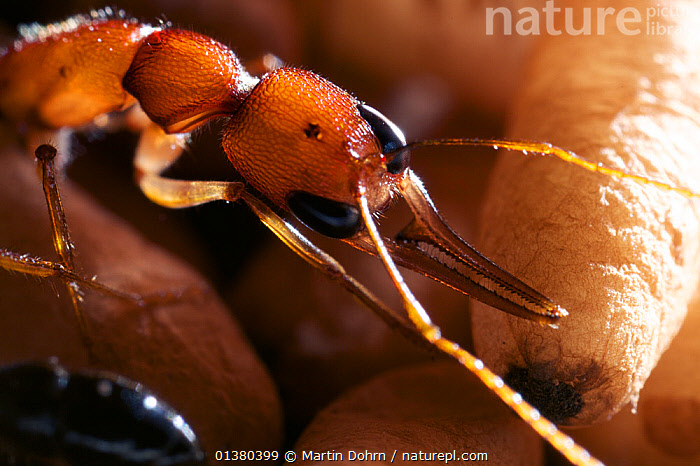 Jumping Ant (Harpegnathos saltator) guarding pupae at the nest, from South-East Asia  ,  ANTS,DEFENSIVE,FORMICIDAE,HYMENOPTERA,INSECTS,INVERTEBRATES,NESTS,SOUTH EAST ASIA,Behaviour  ,  Martin Dohrn