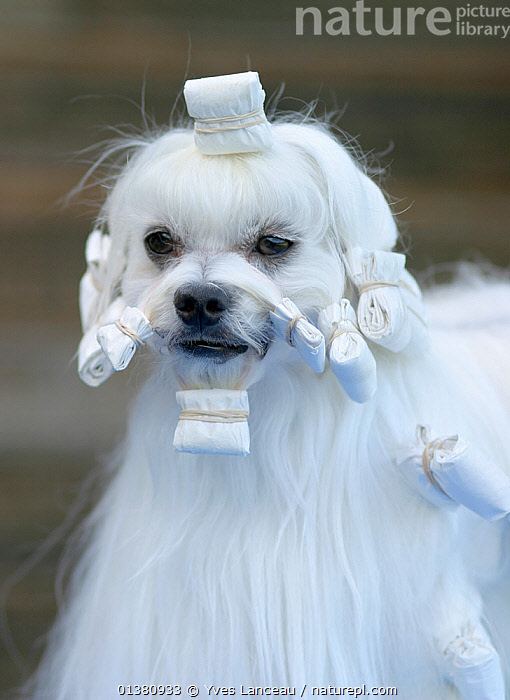 Maltese dog, male with hair in curlers  ,  GROOMING,LONG HAIRED,MALES,PET CARE,PETS,SMALL DOGS,WHITE,DOG,DOGS,EUROPE,SHOWING,TOY DOGS,VERTICAL,Catalogue5  ,  Yves Lanceau